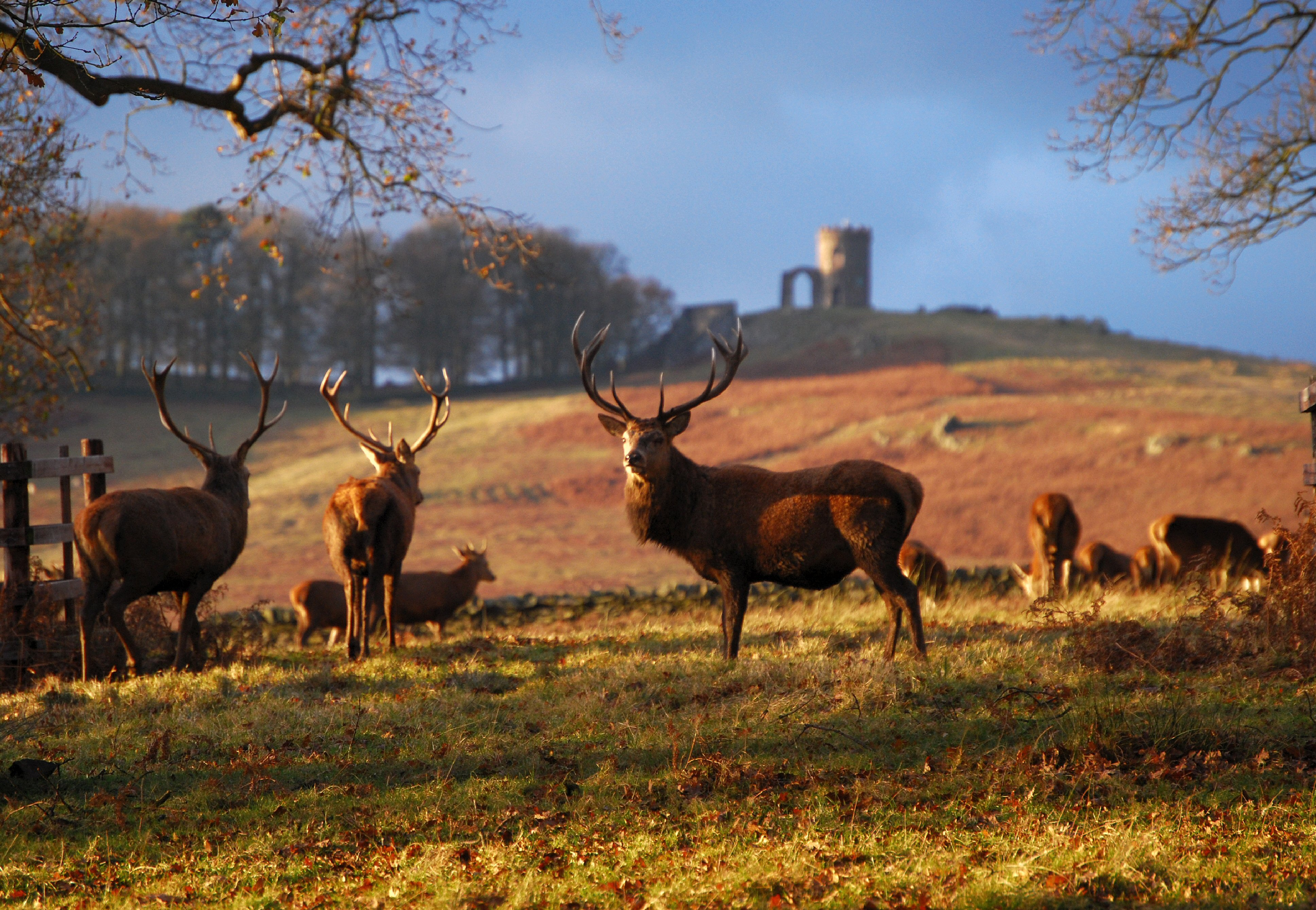 Image of Deer in Charnwood Forest
