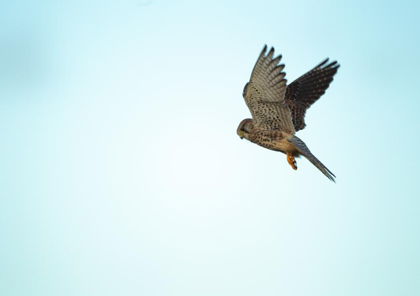 Sparrowhawk in flight.