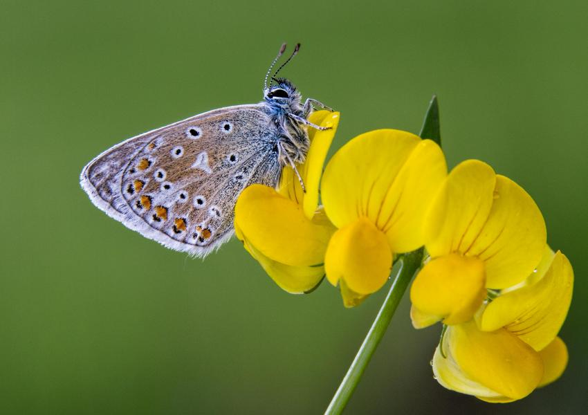 Common blue butterfly at Hicks Lodge.