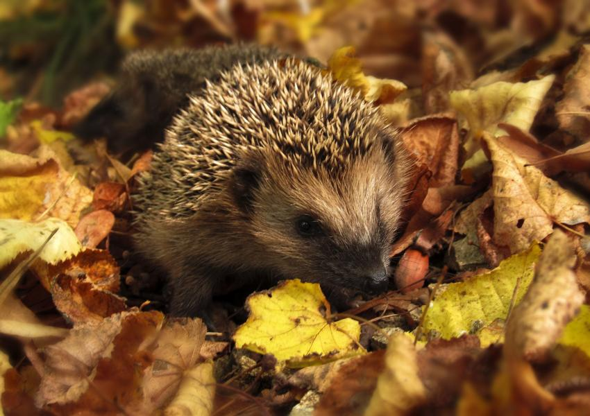 Hedgehog in Autumn leaves.