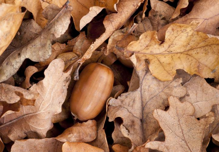 Autumn leaves and acorns.